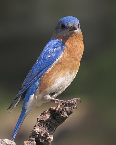 sx50_bluebird_ben_boas_238.jpg