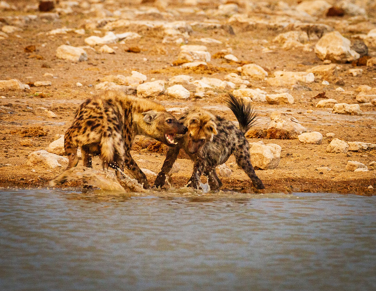 Spotted Hyaena argument 1