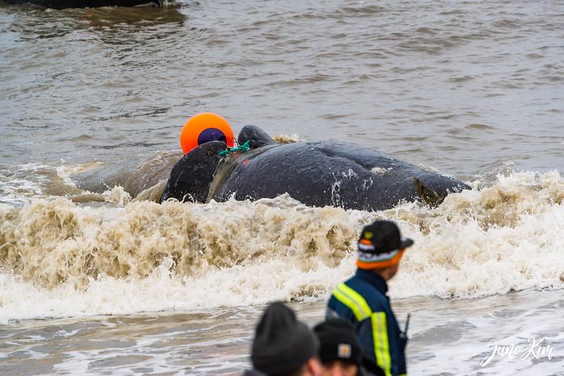 Fall whaling - bowhead whale