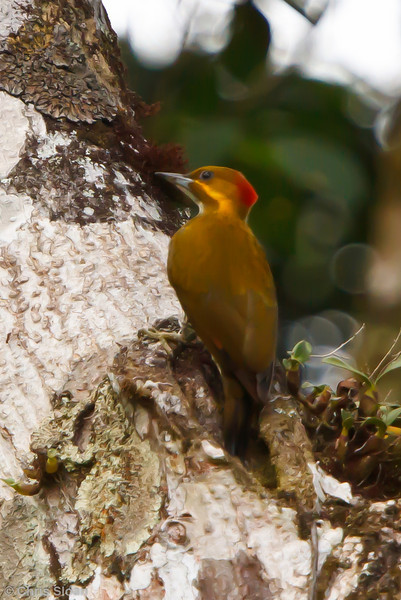 White-throated Woodpecker at La Escalera including Tunnel Area, Tarapoto, Peru (07-03-2010) 220.jpg