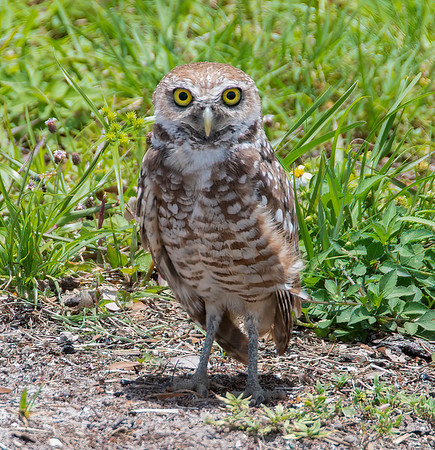 Burrowing Owls - June 7, 2021