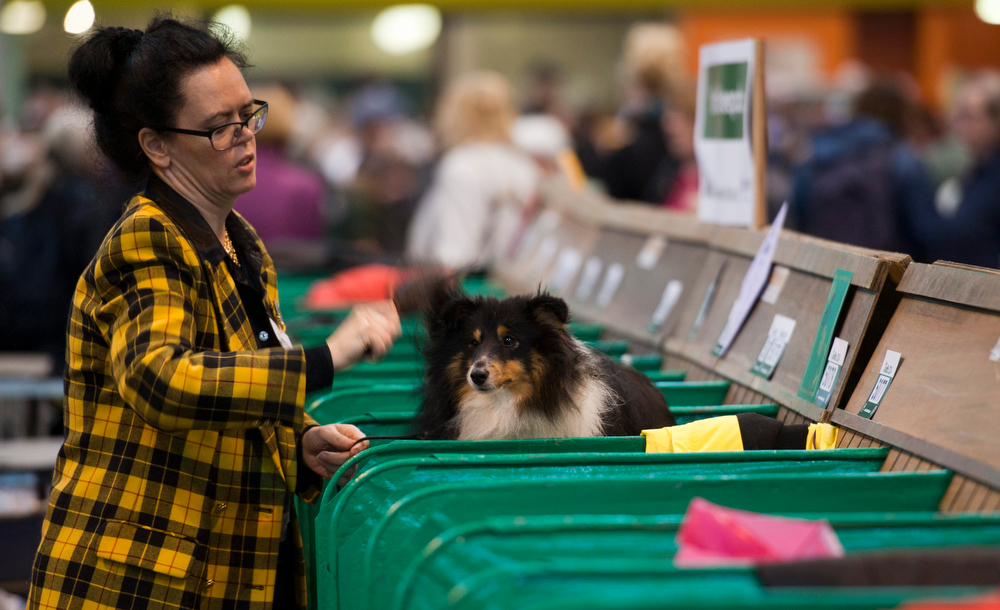 Description of . A woman grooms a Shetland Sheepdog at the Crufts Dog Show 2014 at the National Exhibition Centre in Birmingham, Britain, 06 March 2014. This year, Crufts will be held from 06 to 09 March with over 2,650 dogs from 48 different countries competing with 185 different breeds expected to compete in different categories.  (EPA/WILL OLIVER)