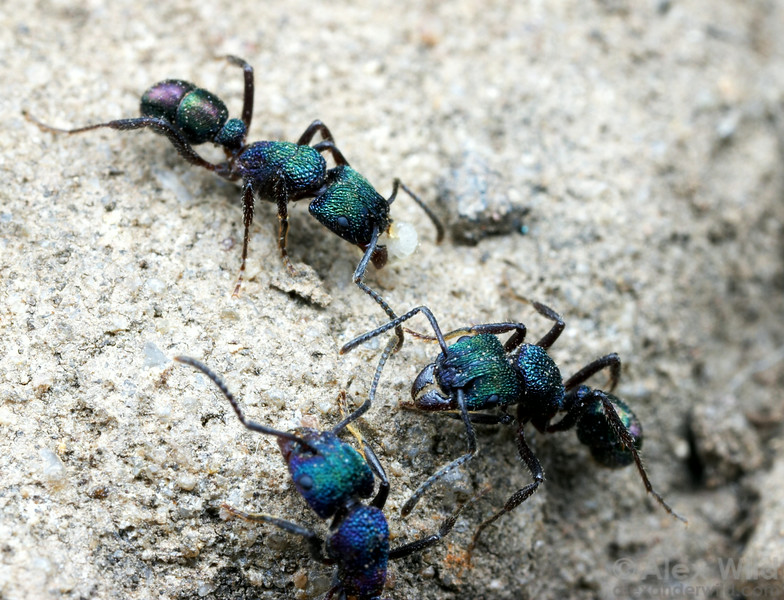 The green-headed ant Rhytidoponera metallica is a common soil-nesting ant in urban areas throughout Australia.   Brisbane, Queensland, Australia
