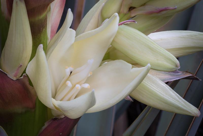 Spanish Bayonete Yucca, Yucca baccata (Agavaceae) Flower