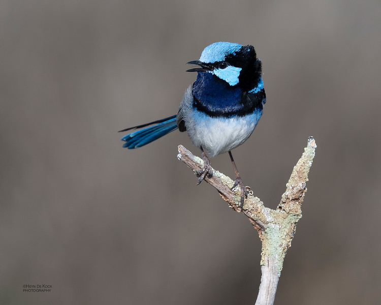 Superb Fairywren, Avalon, VIC, Oct 2018-7.jpg