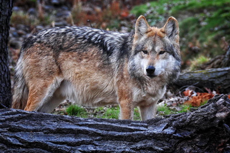 Timber Wolf 2.jpg