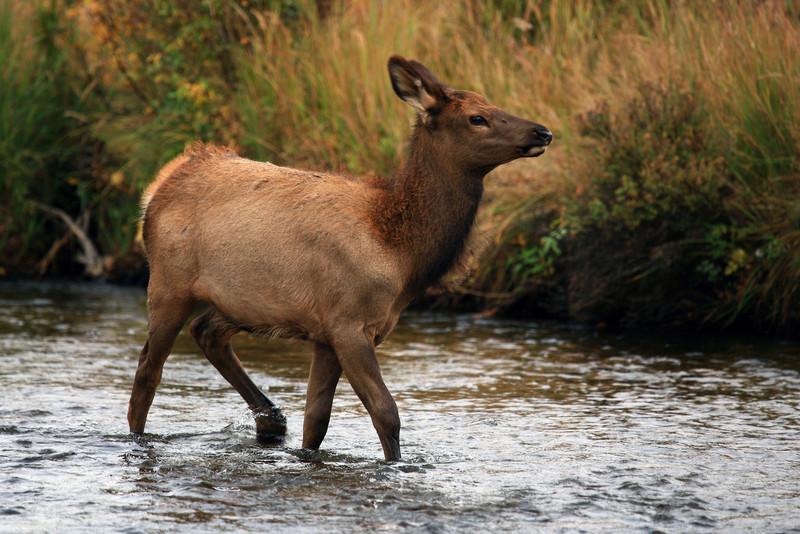 Elk - Rocky Mountain NP, Colorado