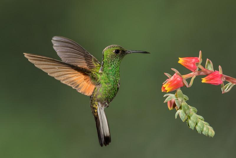 Greencrowned Brilliant Hummingbird