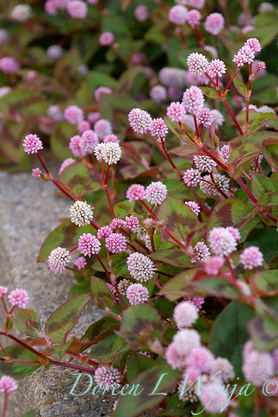 Persicaria capitata ground cover_1404.jpg