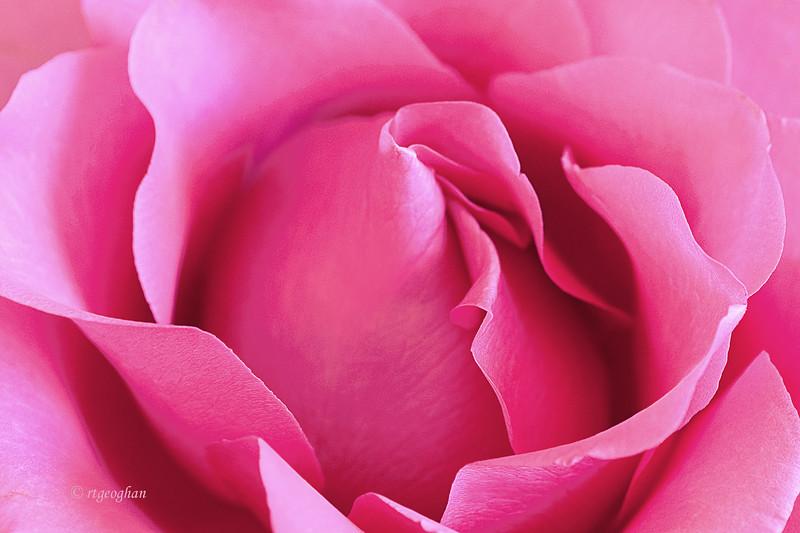 Pink RoseDSC_0490layers.jpg