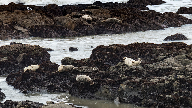 how many harbor seals