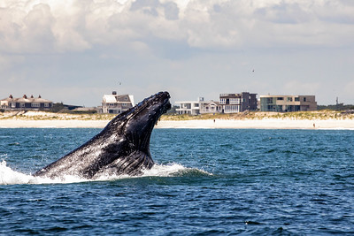 Humpbacks of Dune Road