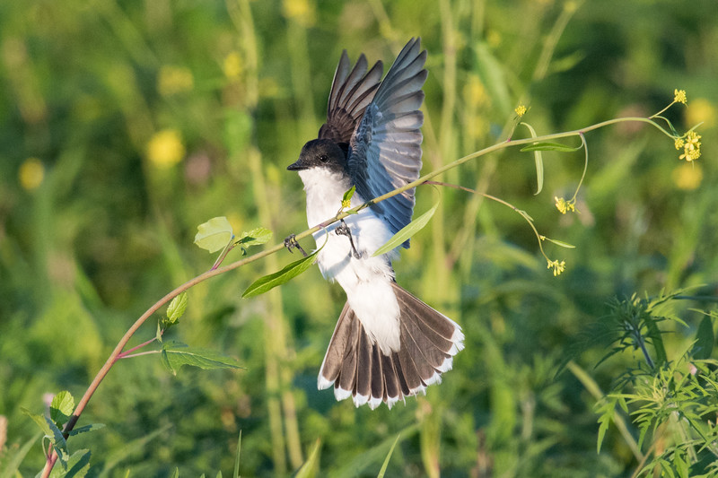Eastern Kingbird on wildflower lifts wings and spreads tail feathers  • Montezuma NWR, NY • 2017