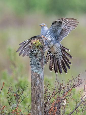 Cuckoo landing by John Hannah.jpg