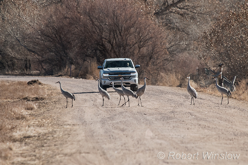 Sandhill Cranes, Grus canadensis, on the road, Bosque del Apache National Wildlife Refuge, New Mexico, USA, North America