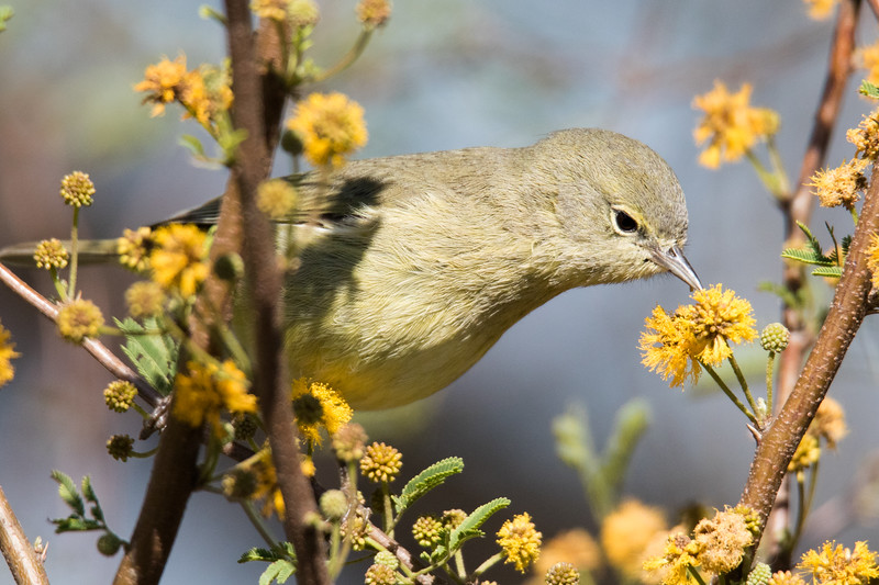 Orange-crowned Warbler So. Texas 2020-1.jpg
