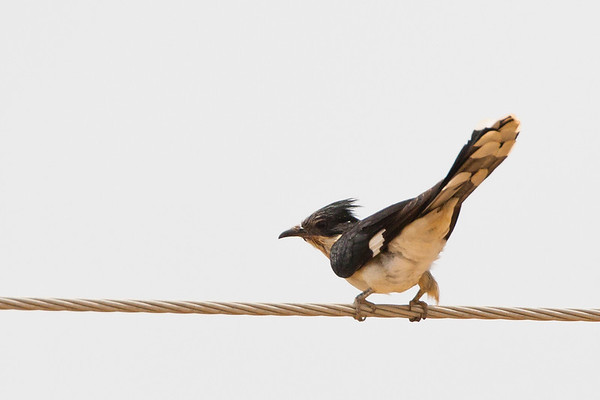 Pied / Jacobin Cuckoo
