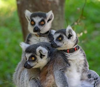 Lemurs, Red Wolves, Black Bear, Butterflies and more