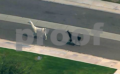 llama-drama-owners-say-no-more-photos-or-events-due-to-usda