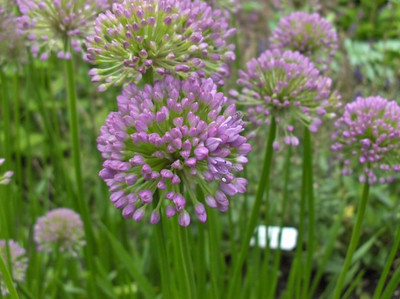 Allium 'Millenium'.jpg