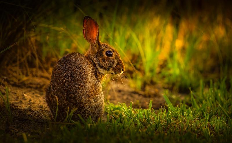 Florida Marsh Rabbit - 3.jpg