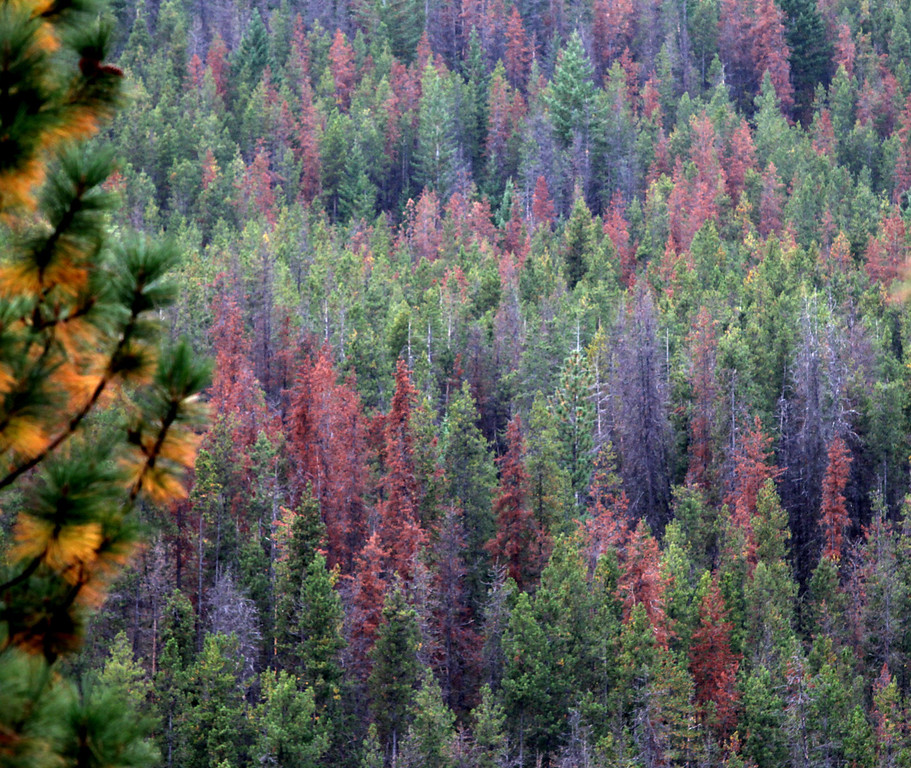 . This Oct. 14, 2011 photo shows  damaged pine trees from Bark Beatles in the Sawtooth Ridge area above the Methow Valley in the North Cascades, Wash. The beetles are whittling away at high-elevation trees once thought mostly safe from bugs.  (AP Photo/The Seattle Times, Steve Ringman)