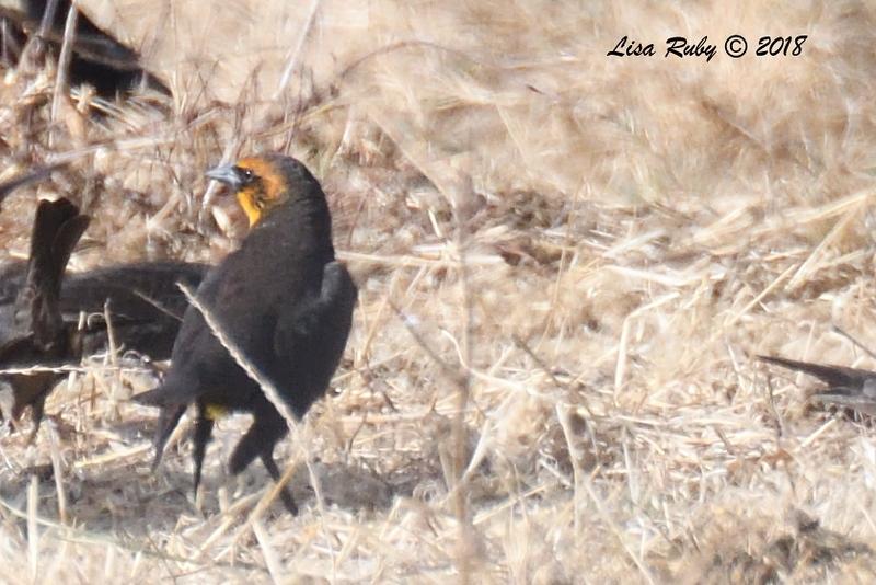 Yellow-headed Blackbird  - 1/7/2018 - Rangeland Road, Ramona