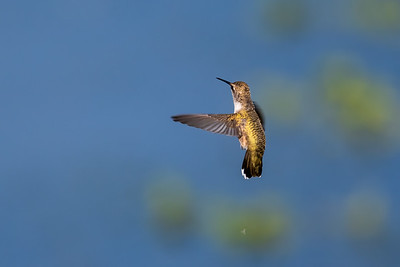 2021_7_18 Hummingbird at Yolo Bypass