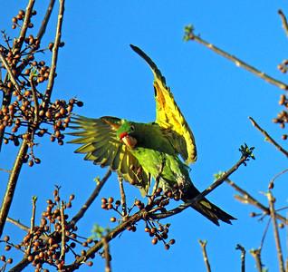 Birding Calle Nueva 28 Mar 2020