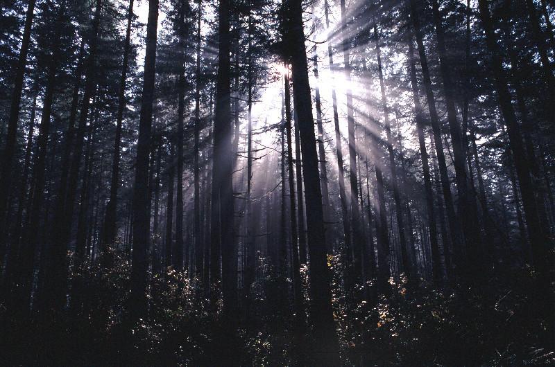 Sun shinning through fog in a Douglas fir forest.
