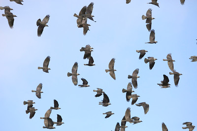A flock of flying Jackdaws