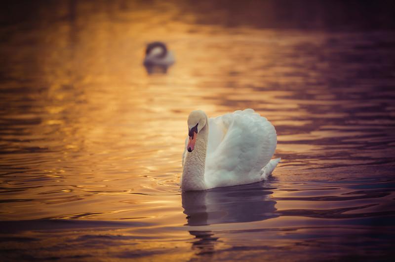 swan in sun.jpg