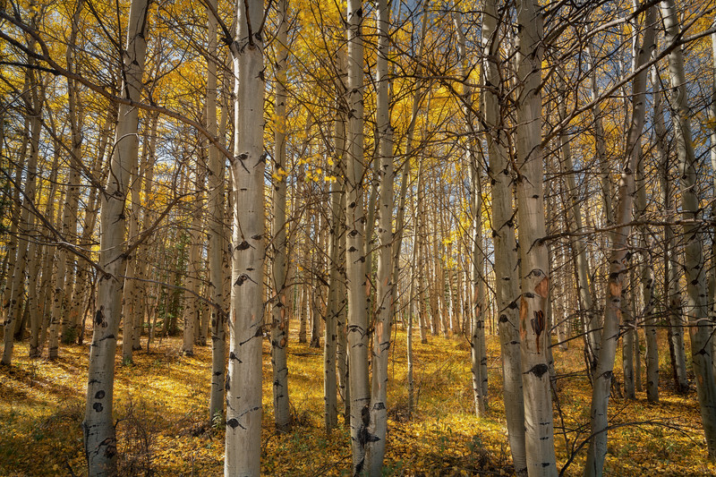 Golden Forest || Boreas Pass