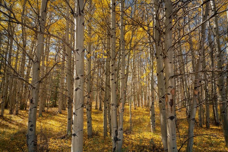 Golden Forest    Boreas Pass