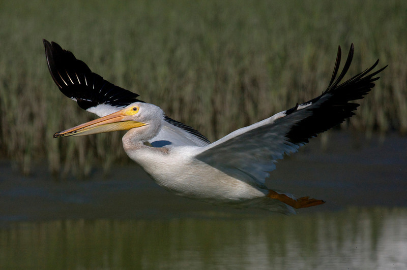 American White Pelican flight series (frame 11)