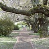 Cherry blossom covered pathway