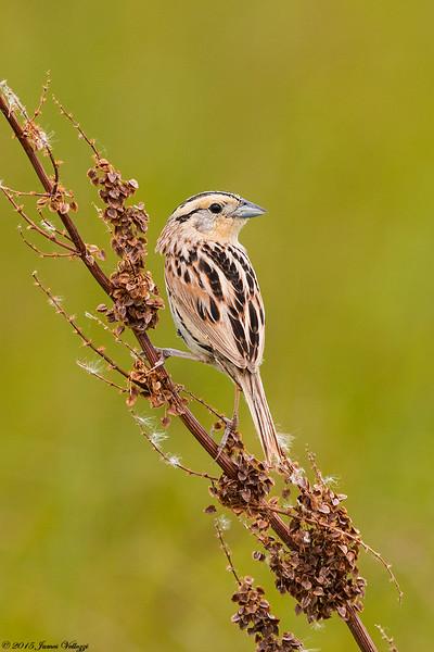 Le Conte's Sparrow, Ammodramus leconteii
