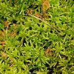 684400376-Big-Lagoon-moss.jpg