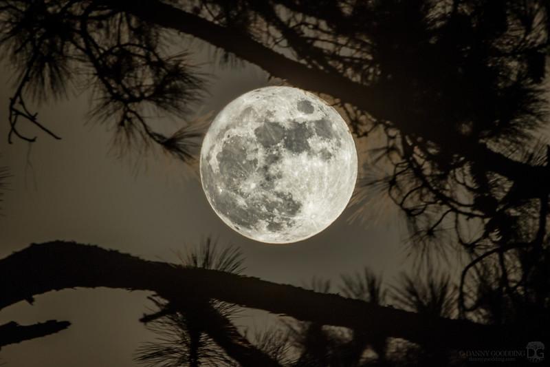 Full moon through a pine tree