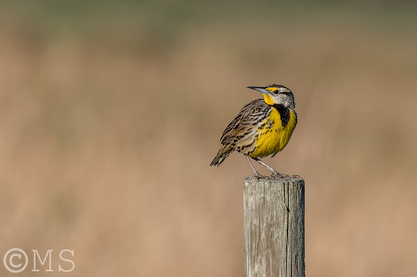 Eastern Meadowlark Image Gallery