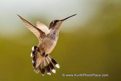 Hummingbirds 2012