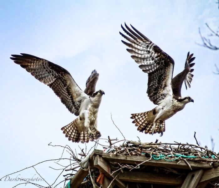 Osprey Landing On Nest-3.jpg