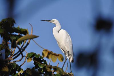 Bitterns, Herons, Egrets / Schreitvögel - Ardeidae
