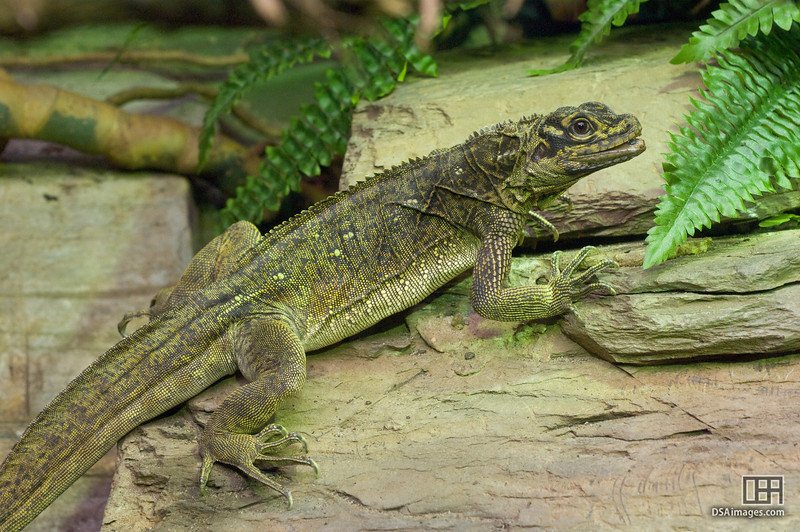 Philippine Sail-Finned Water Dragon (Hydrosaurus pustulatus)