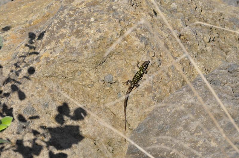 MI.WCC12.Misc.Lizard