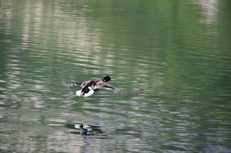 Duck. Bohinjsko jezero