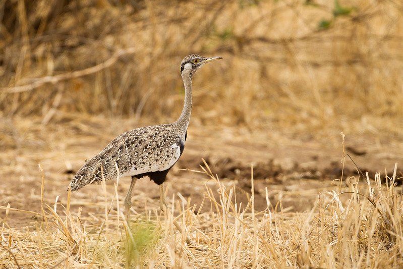 Black-bellied Bustard - Tarangire National Park, Tanzania