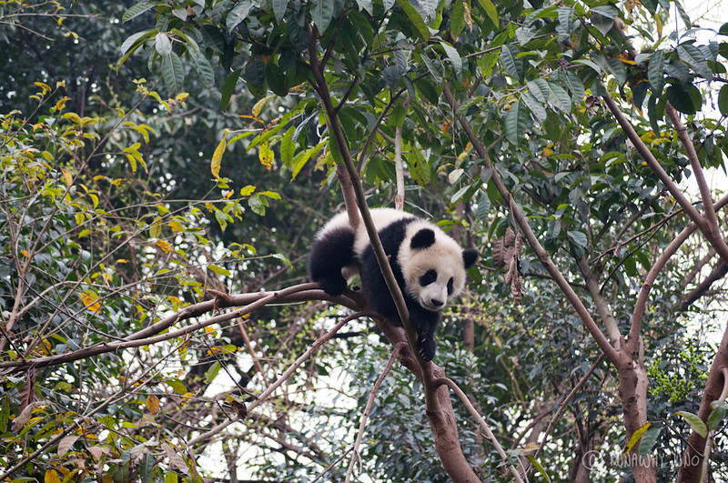 Cup_Panda_sleeping_on_the_tree_Chengdu_Sichuan_China2.jpg