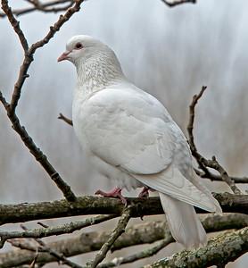 Rock Dove (Columbia livia)