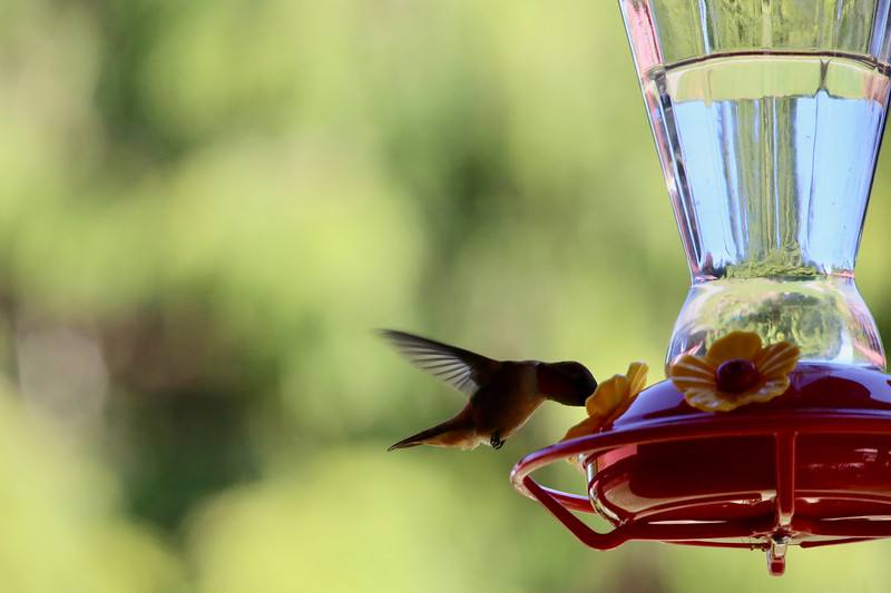 humming bird (13 of 55).jpg
